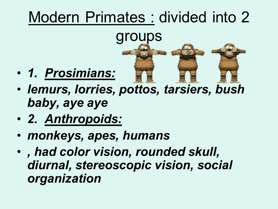 Modern Primates : divided into 2 groups
