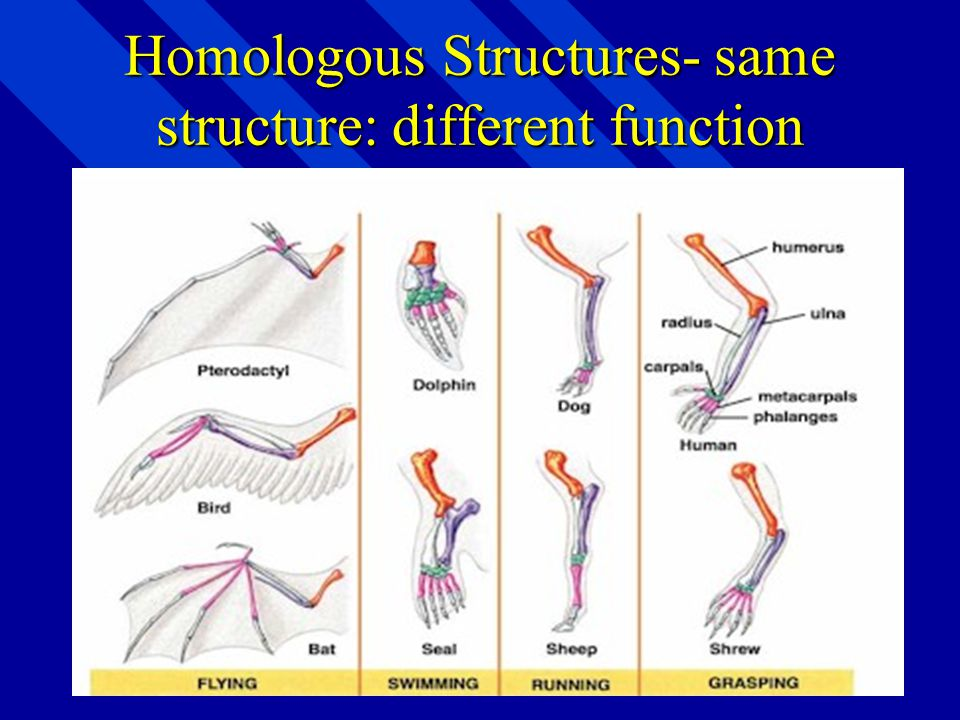 Homologous Structures- same structure: different function