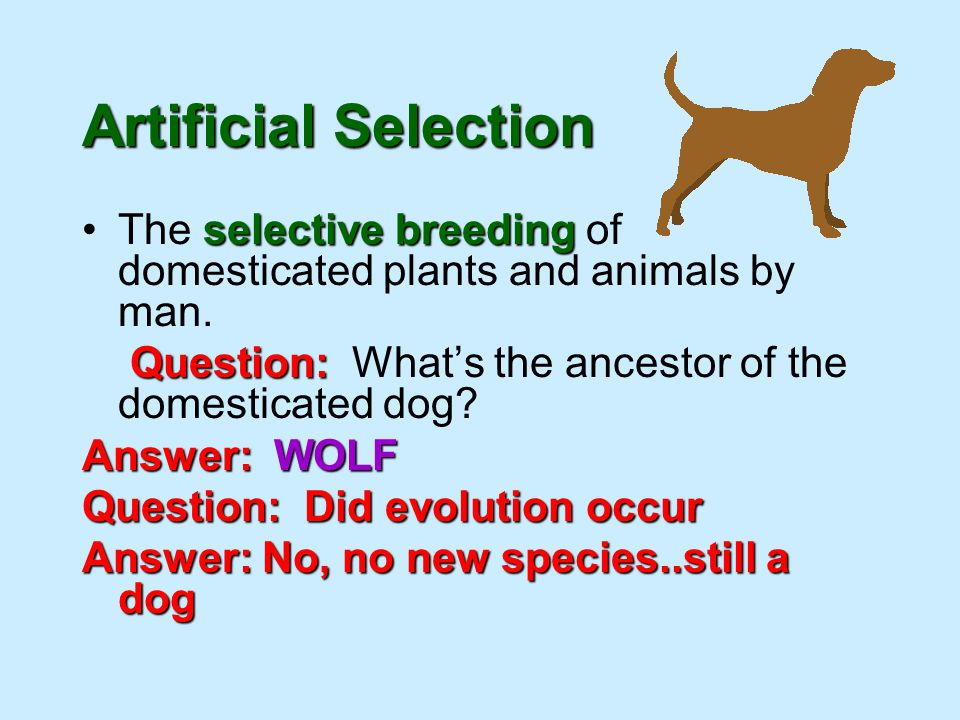 Artificial Selection The selective breeding of domesticated plants and animals by man. Question: What's the ancestor of the domesticated dog