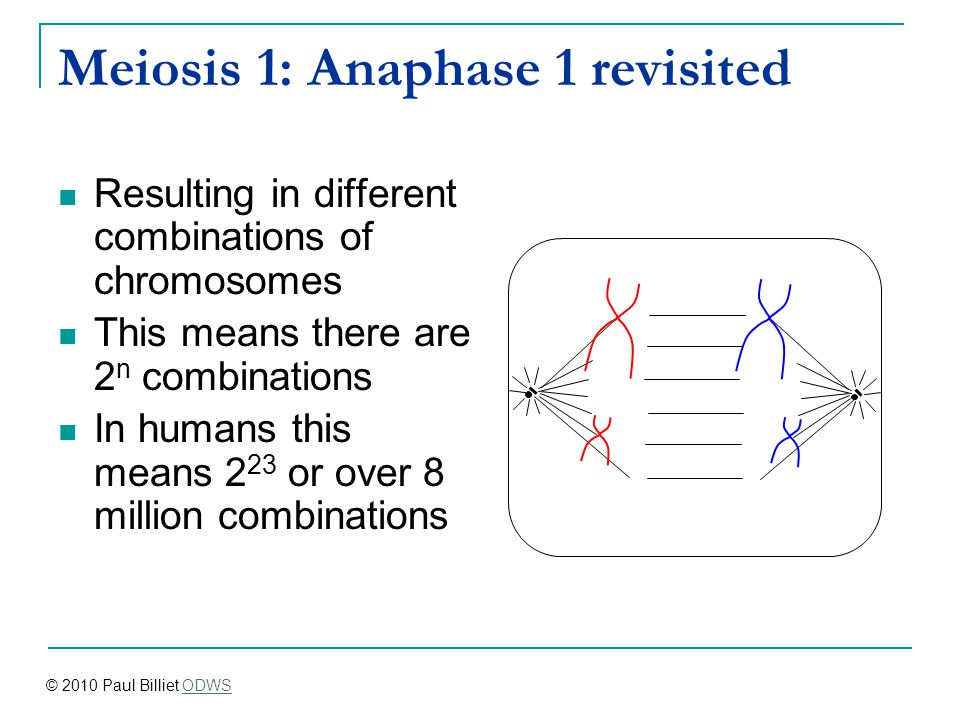 Meiosis 1: Anaphase 1 revisited