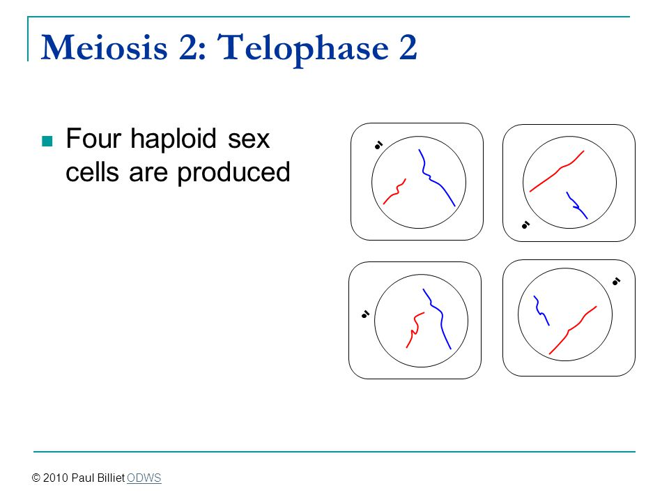 Meiosis 2: Telophase 2 Four haploid sex cells are produced