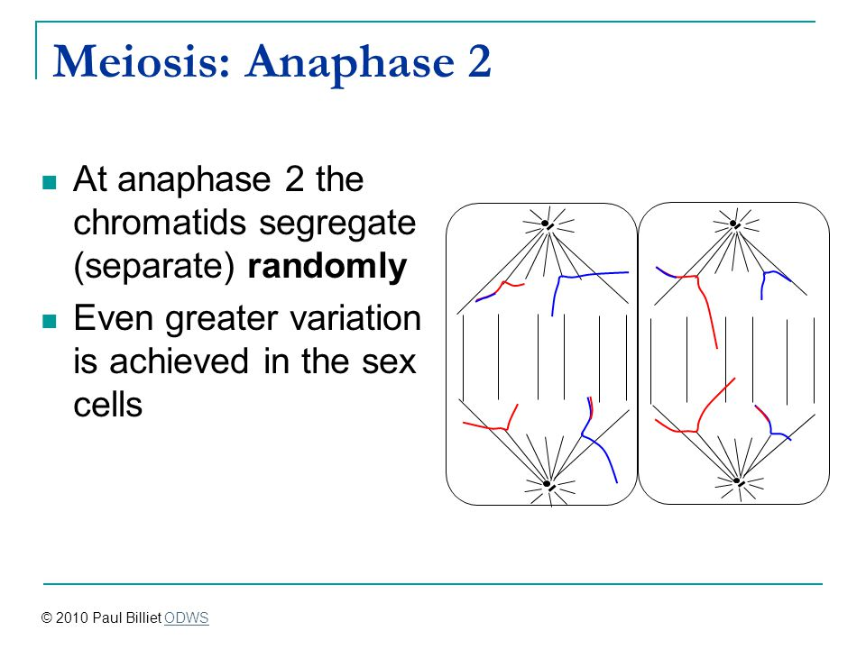 Meiosis: Anaphase 2 At anaphase 2 the chromatids segregate (separate) randomly. Even greater variation is achieved in the sex cells.