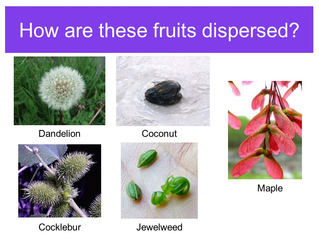 How are these fruits dispersed