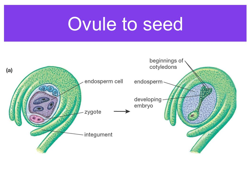 Ovule to seed