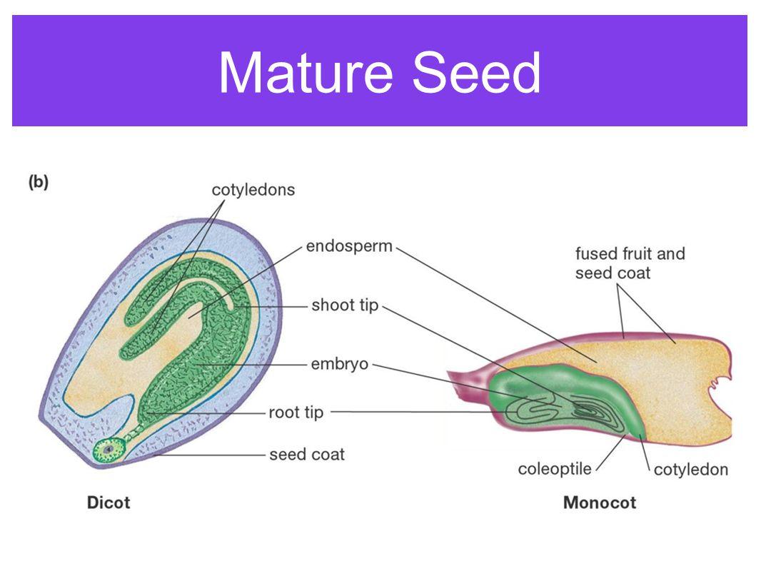 Mature Seed