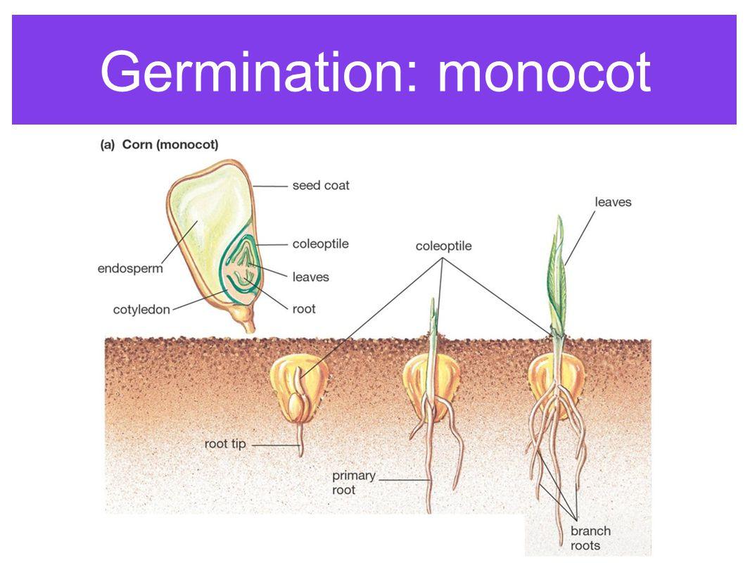 Germination: monocot