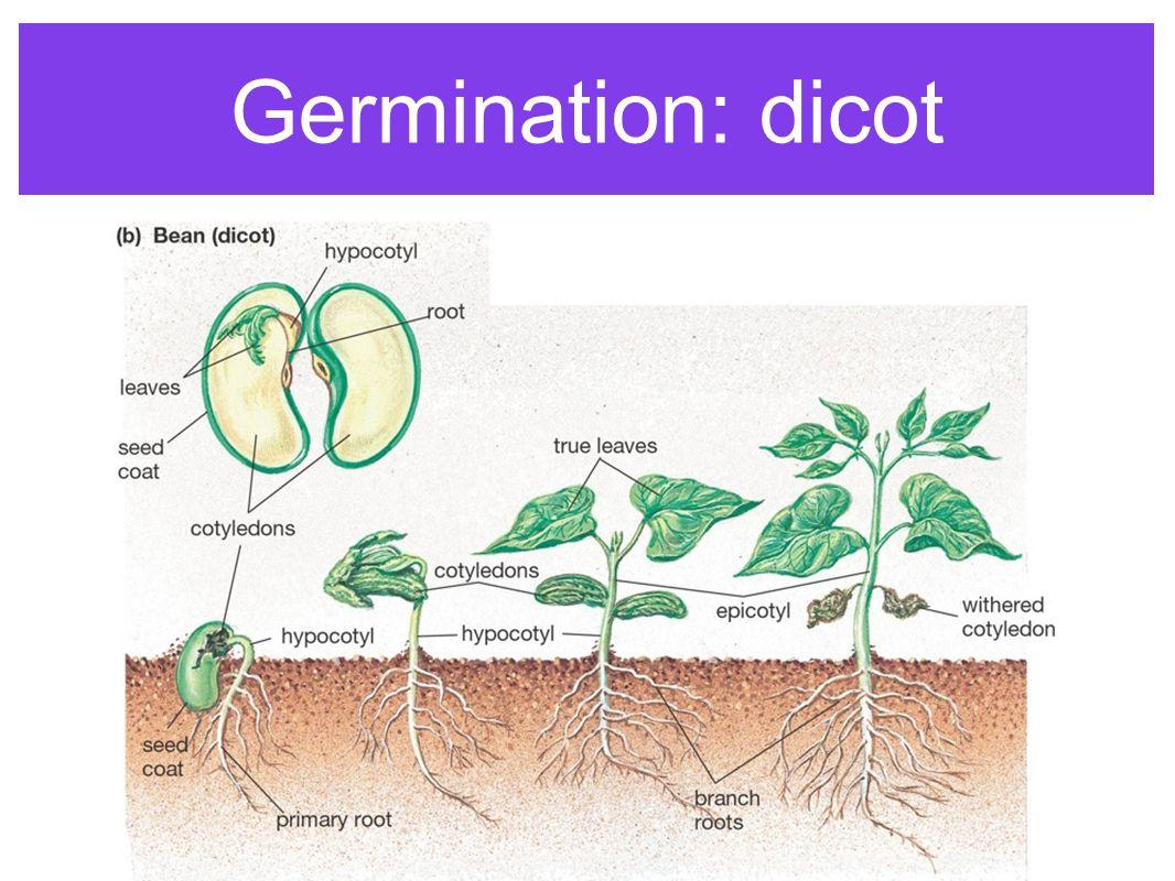 Germination: dicot