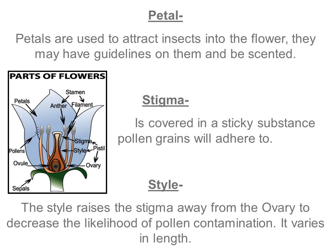 Petal- Petals are used to attract insects into the flower, they may have guidelines on them and be scented.