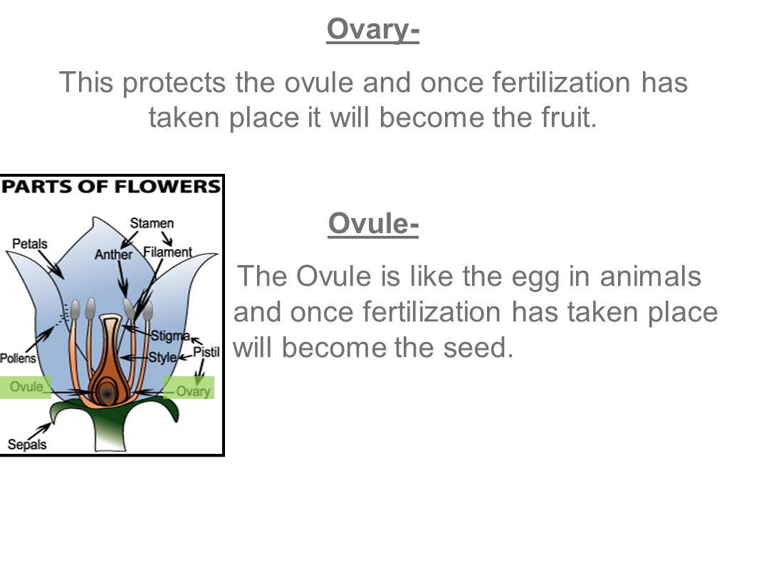 Ovary- This protects the ovule and once fertilization has taken place it will become the fruit. Ovule-