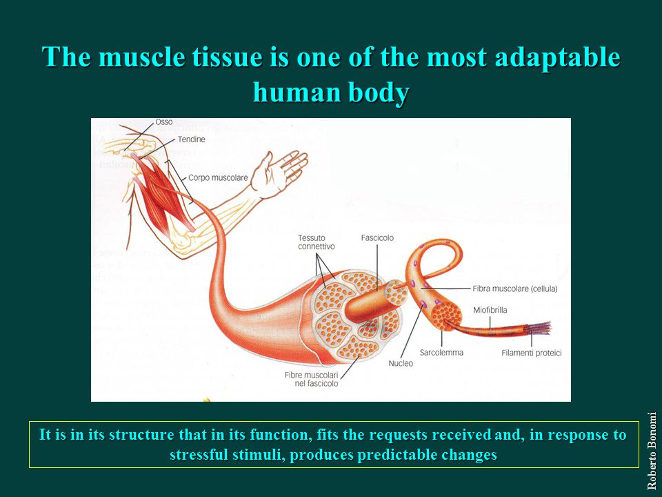 The muscle tissue is one of the most adaptable human body