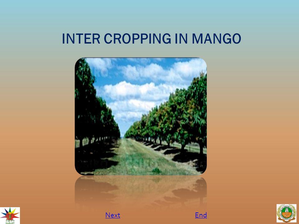 INTER CROPPING IN MANGO