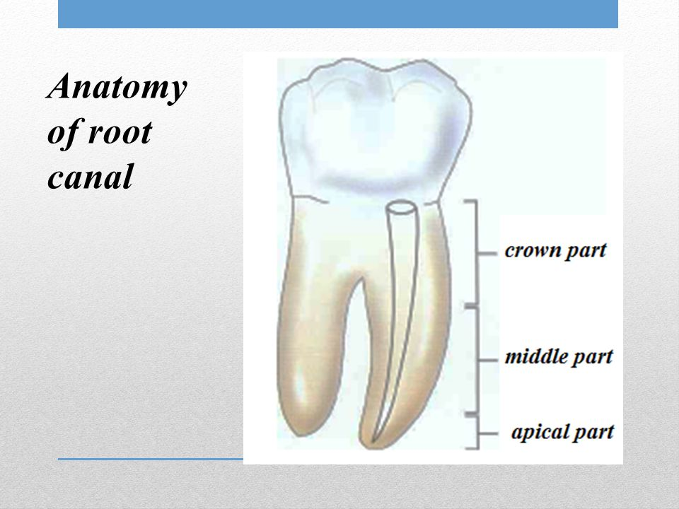 Anatomy of root canal