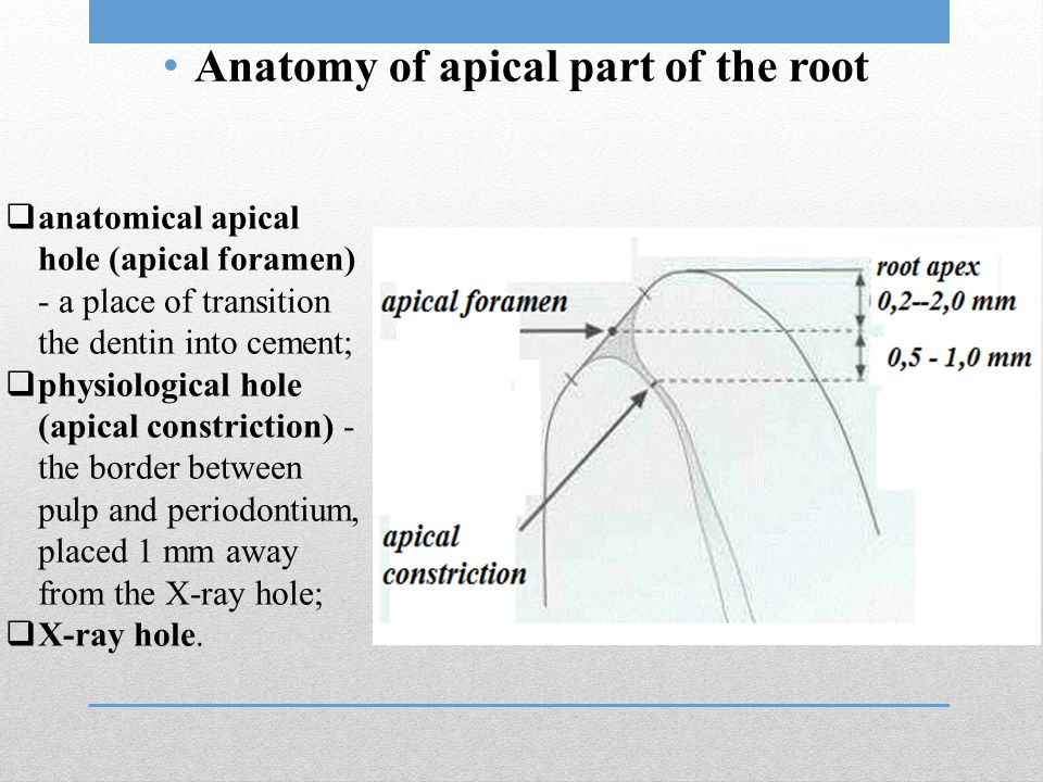 Anatomy of apical part of the root