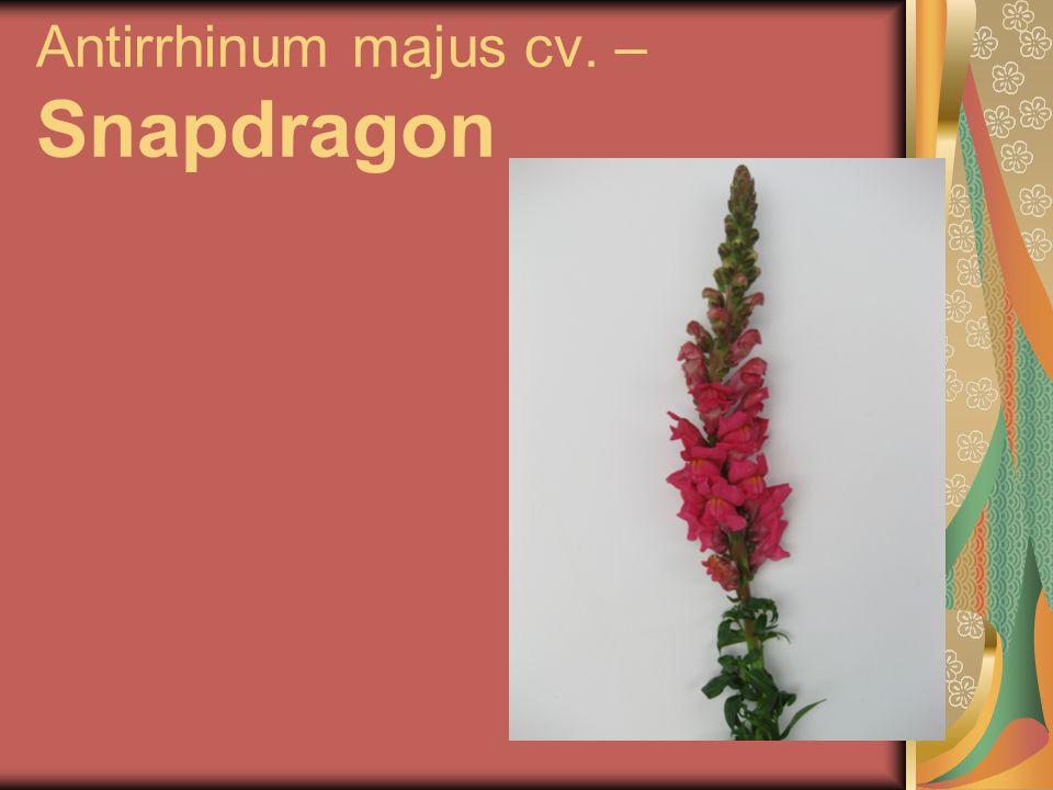 Antirrhinum majus cv. – Snapdragon