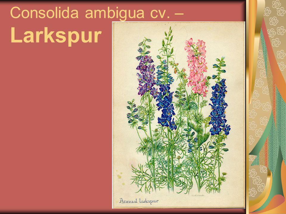 Consolida ambigua cv. – Larkspur