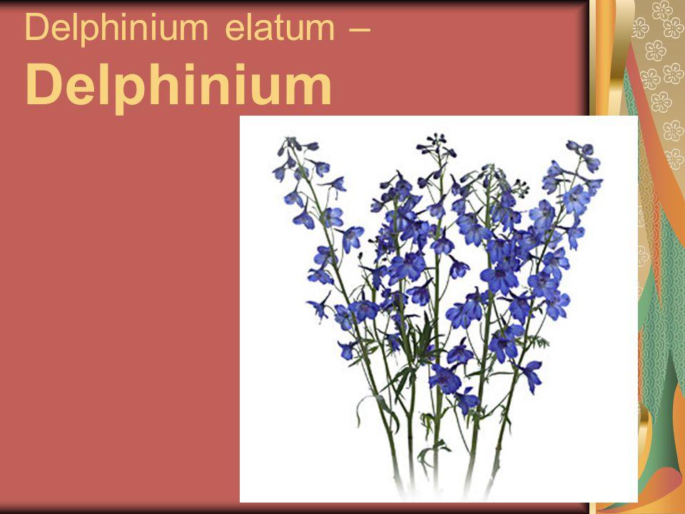 Delphinium elatum – Delphinium