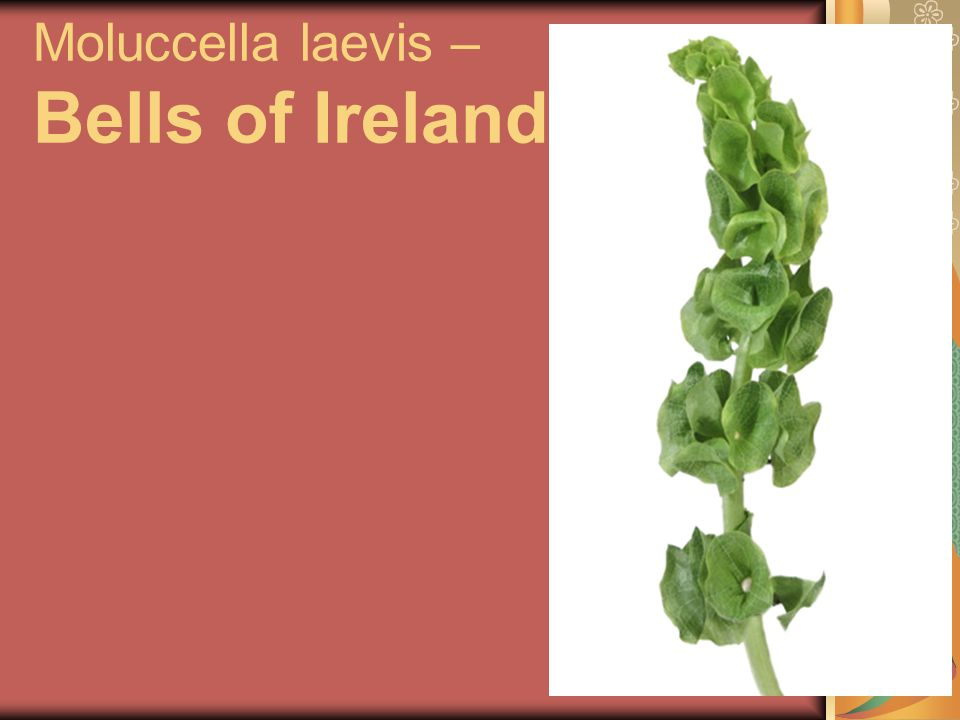 Moluccella laevis – Bells of Ireland