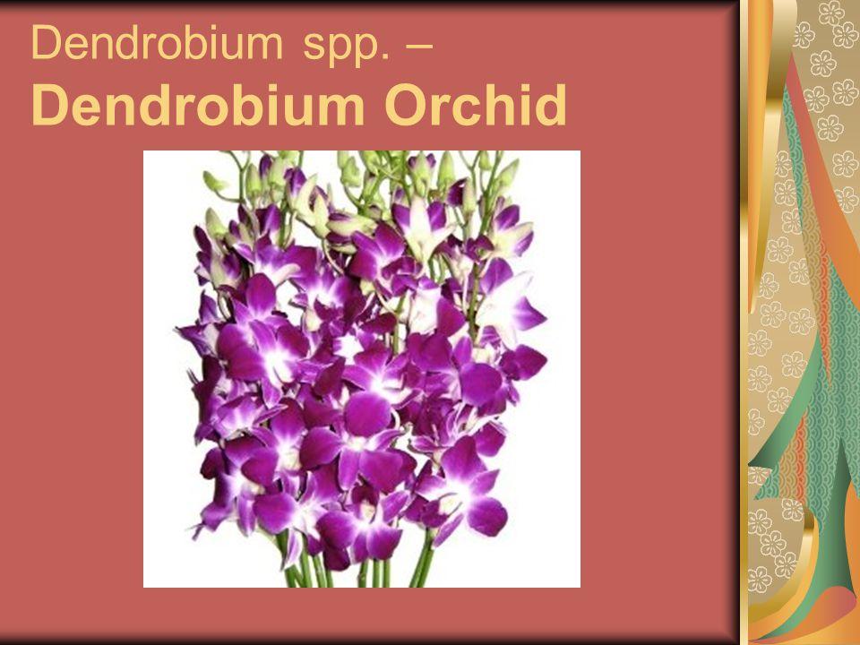Dendrobium spp. – Dendrobium Orchid