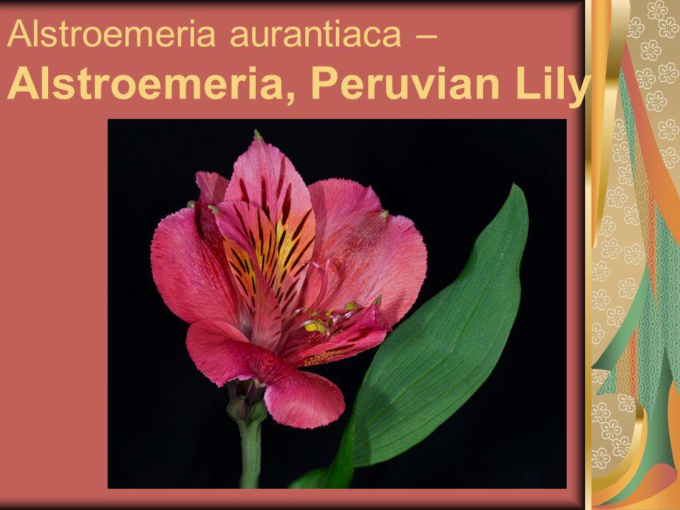 Alstroemeria aurantiaca – Alstroemeria, Peruvian Lily