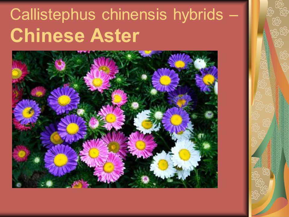 Callistephus chinensis hybrids – Chinese Aster