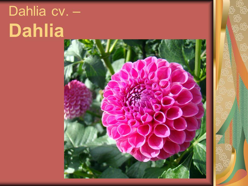 Dahlia cv. – Dahlia