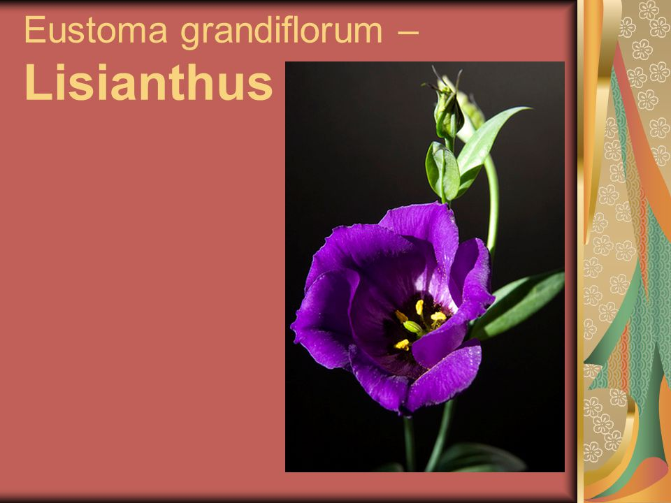 Eustoma grandiflorum – Lisianthus