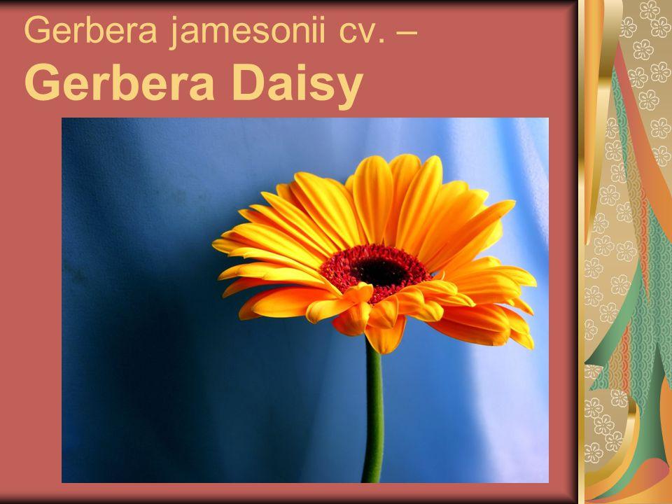 Gerbera jamesonii cv. – Gerbera Daisy