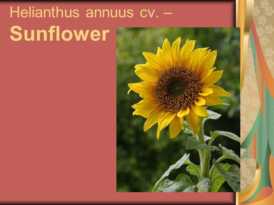 Helianthus annuus cv. – Sunflower