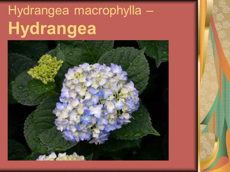 Hydrangea macrophylla – Hydrangea