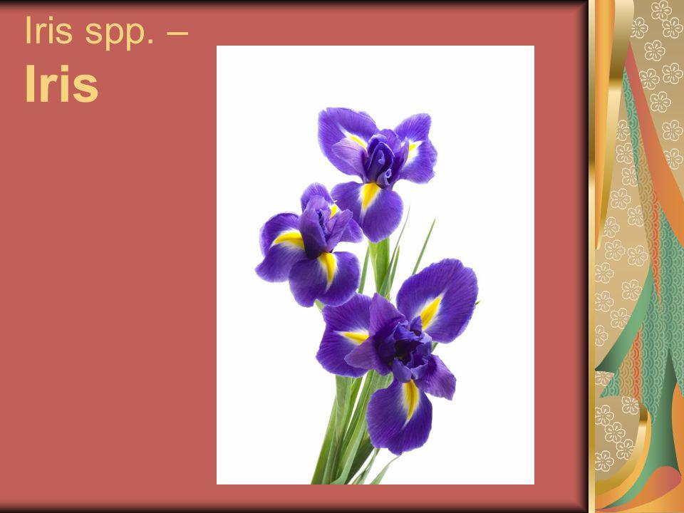 Iris spp. – Iris