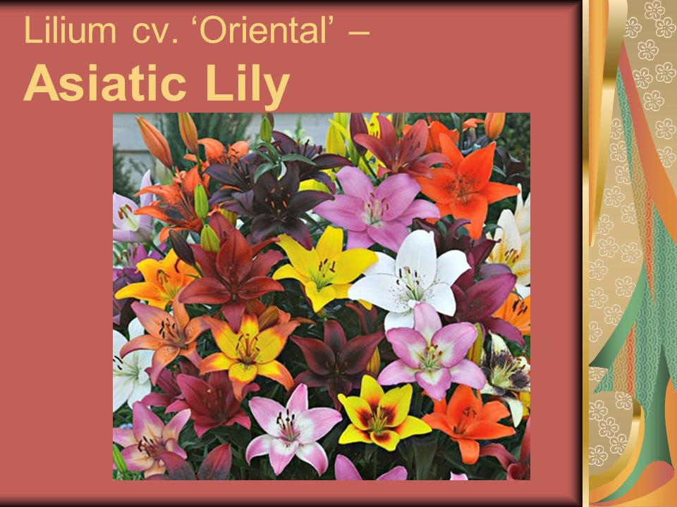 Lilium cv. 'Oriental' – Asiatic Lily