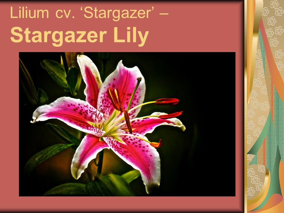 Lilium cv. 'Stargazer' – Stargazer Lily