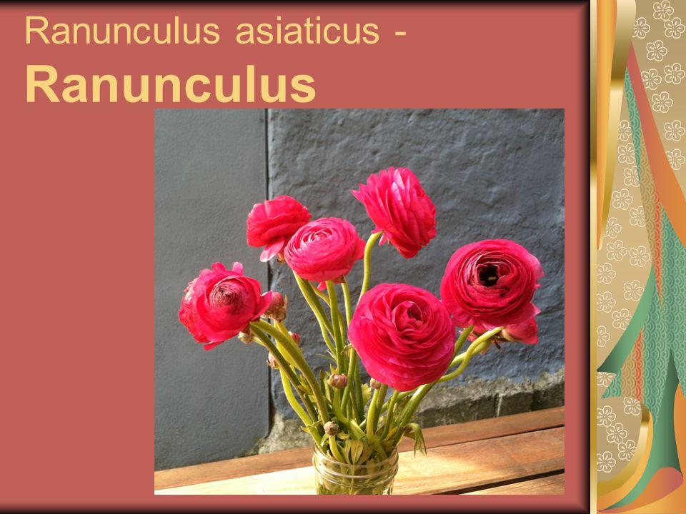 Ranunculus asiaticus - Ranunculus
