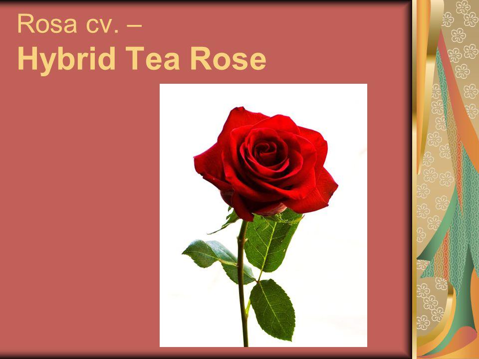 Rosa cv. – Hybrid Tea Rose