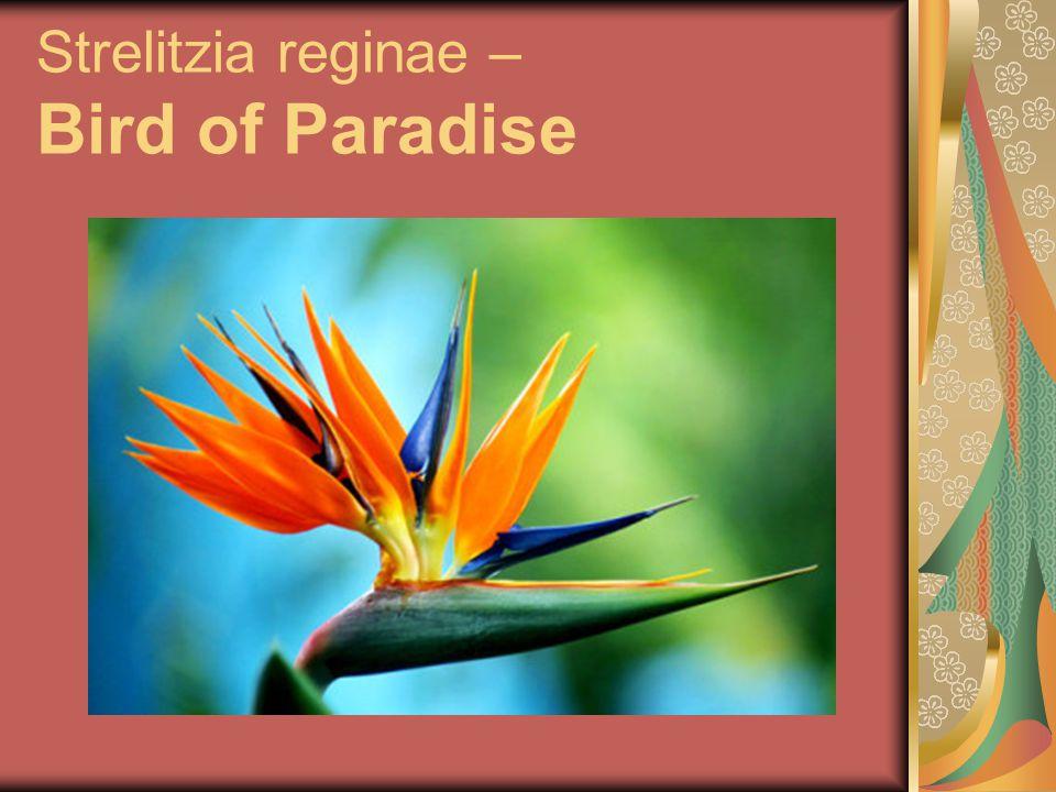 Strelitzia reginae – Bird of Paradise