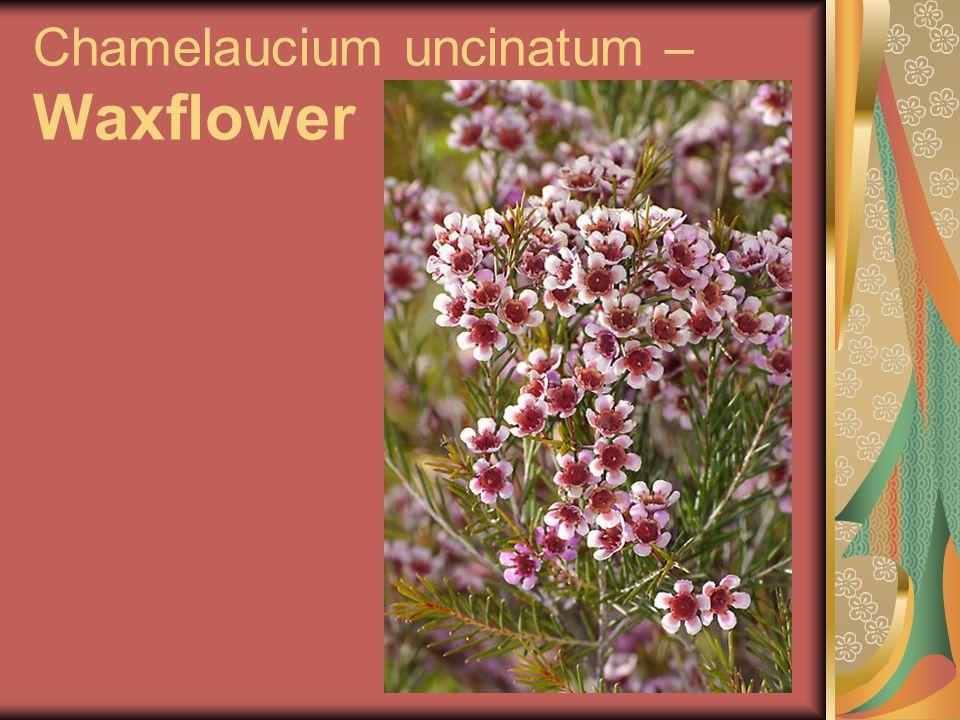 Chamelaucium uncinatum – Waxflower