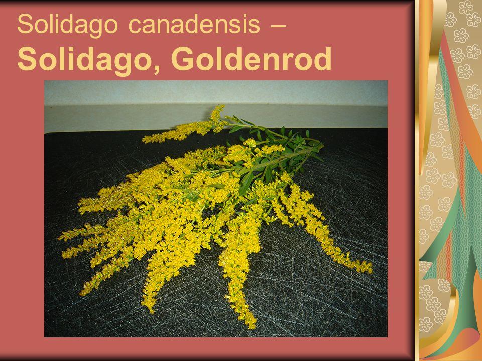 Solidago canadensis – Solidago, Goldenrod