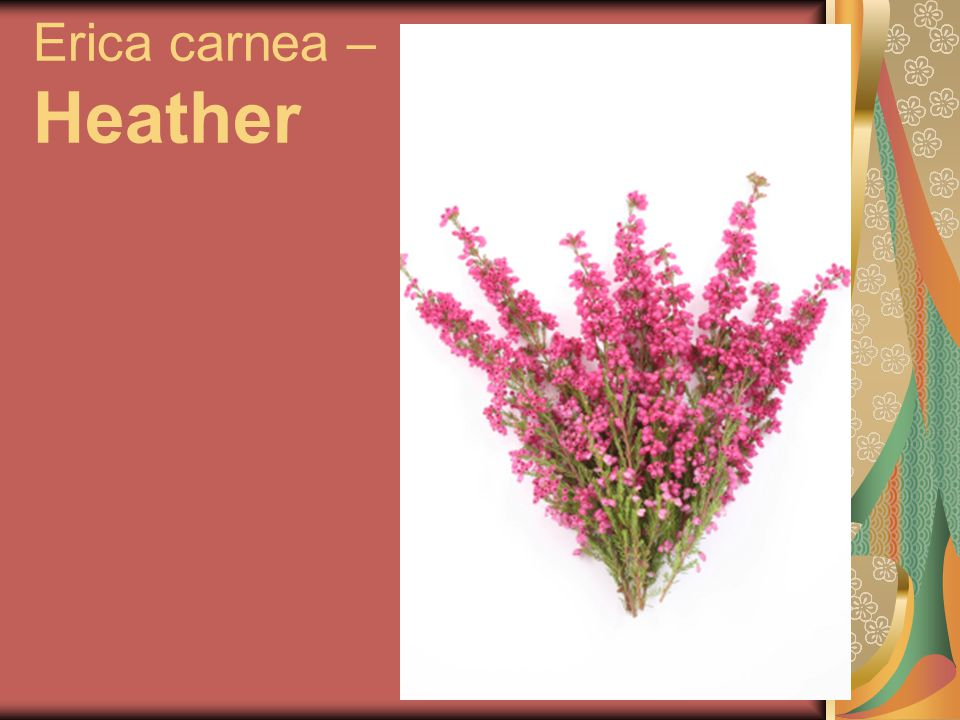 Erica carnea – Heather