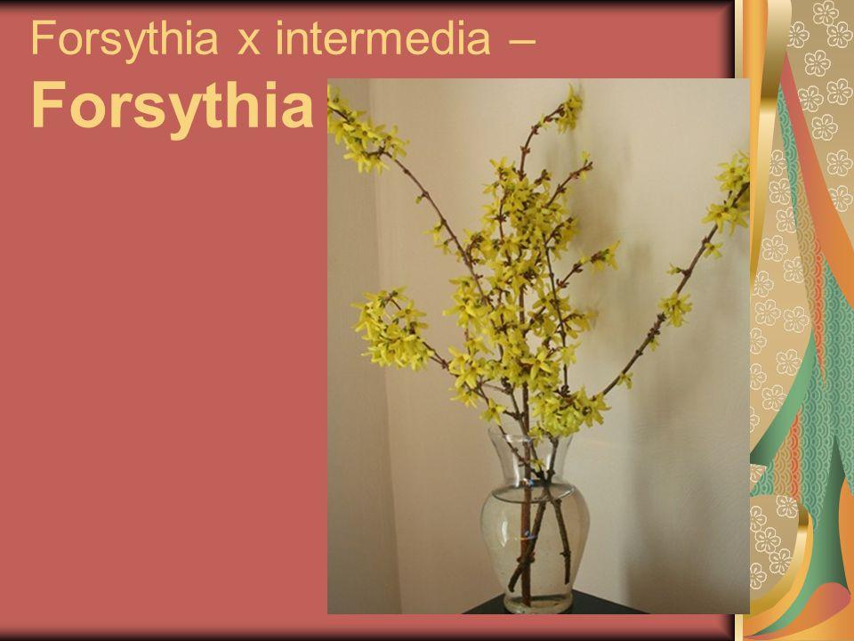 Forsythia x intermedia – Forsythia