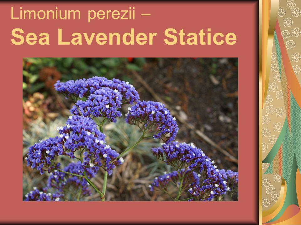 Limonium perezii – Sea Lavender Statice