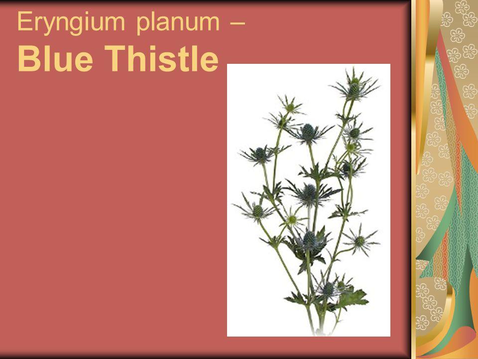 Eryngium planum – Blue Thistle