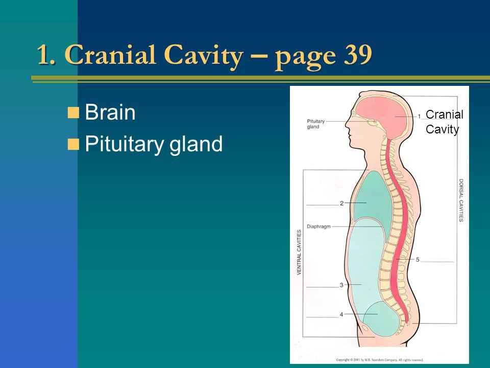1. Cranial Cavity – page 39 Brain Pituitary gland Cranial Cavity