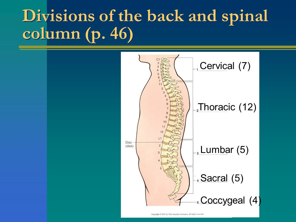 Divisions of the back and spinal column (p. 46)