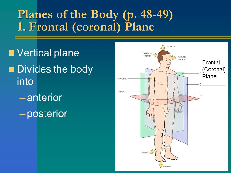 Planes of the Body (p. 48-49) 1. Frontal (coronal) Plane