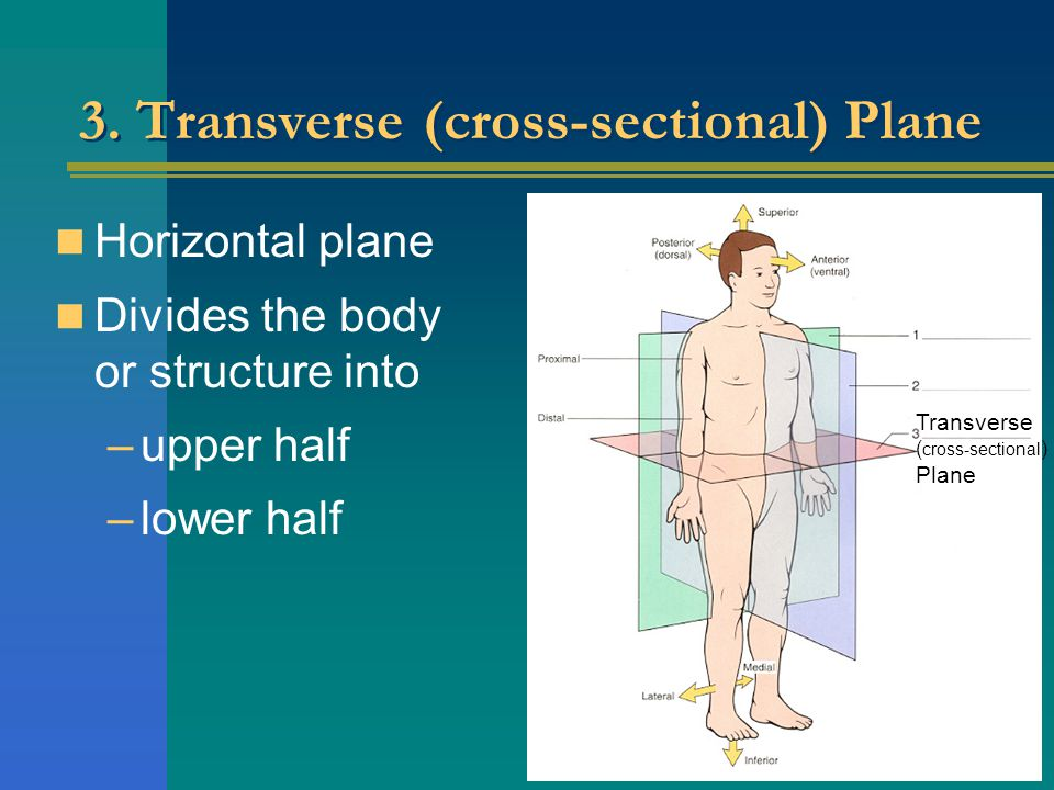 3. Transverse (cross-sectional) Plane