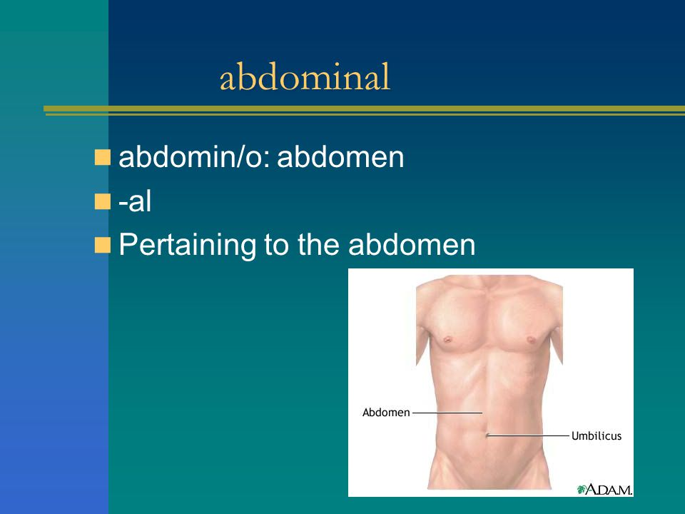abdominal abdomin/o: abdomen -al Pertaining to the abdomen