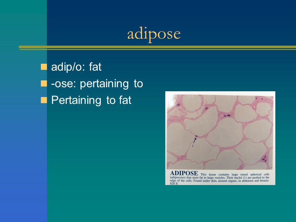 adipose adip/o: fat -ose: pertaining to Pertaining to fat