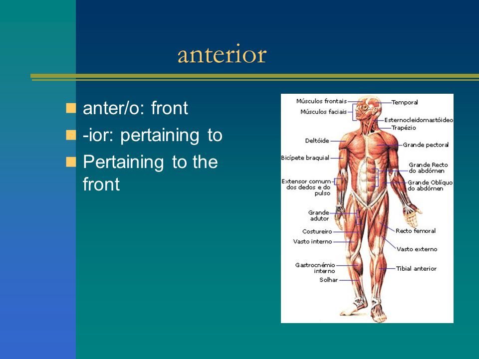 anterior anter/o: front -ior: pertaining to Pertaining to the front