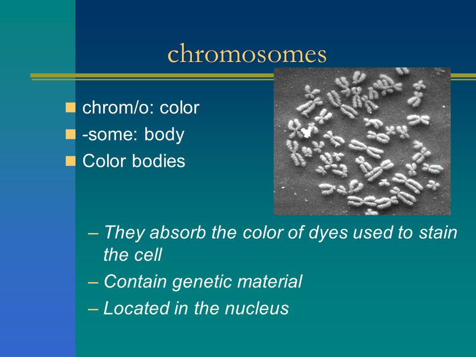 chromosomes chrom/o: color -some: body Color bodies