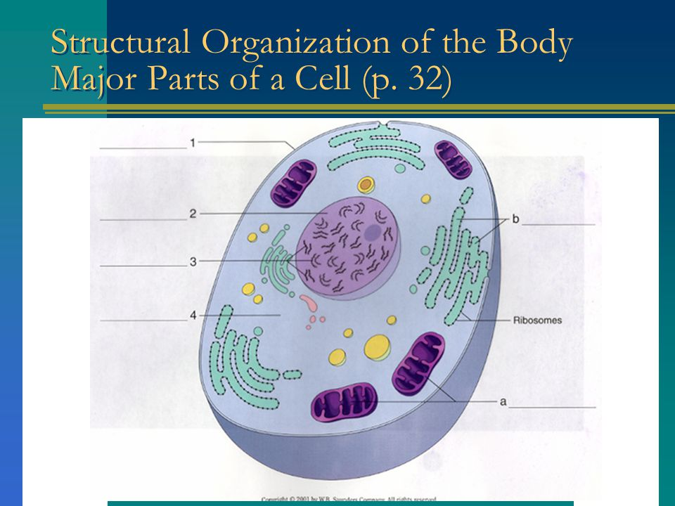 Structural Organization of the Body Major Parts of a Cell (p. 32)